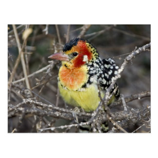 Kenya. Close-up of red and yellow barbet perched Postcard