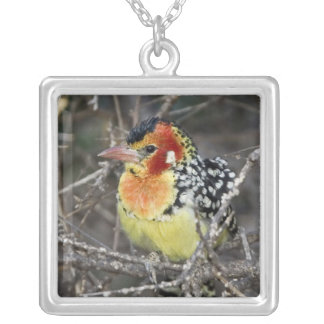 Kenya. Close-up of red and yellow barbet perched Silver Plated Necklace