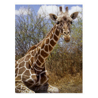 Kenya: Laikipia Plateau, Loisaba Wilderness Postcard