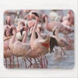 Kenya, Lake Nakuru National Park. Flamingos wade Mousepads