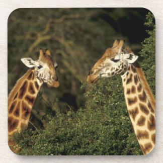 Kenya: Lake Nakuru National Park, Rothschild 2 Coaster