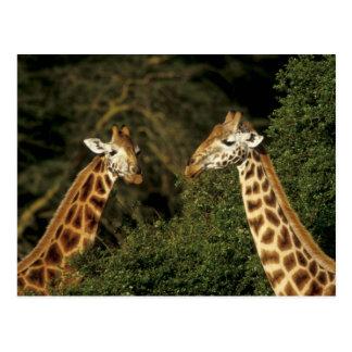 Kenya: Lake Nakuru National Park, Rothschild 2 Postcard