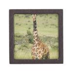 Kenya, Lewa Conservancy, Masai Giraffe standing Premium Gift Box