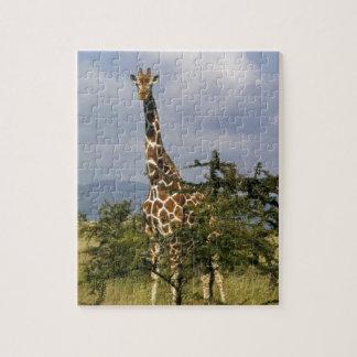 Kenya: Lewa Wildlife Conservancy, reticulated Jigsaw Puzzle