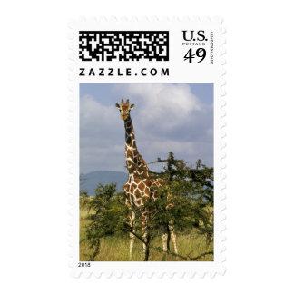 Kenya: Lewa Wildlife Conservancy, reticulated Postage