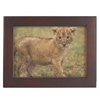 Kenya. Lion Cub (Panthera Leo) Keepsake Box
