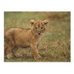 Kenya. Lion Cub (Panthera Leo) Post Card