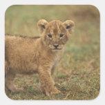 Kenya. Lion Cub (Panthera Leo) Square Stickers