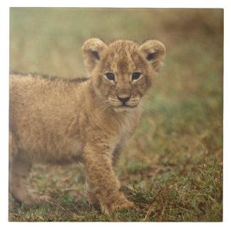 Kenya. Lion Cub (Panthera Leo) Large Square Tile