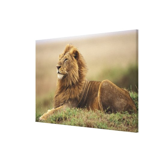 Kenya, Masai Mara. Adult male lion on termite Canvas Print