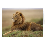 Kenya, Masai Mara. Adult male lion on termite Cards