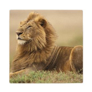 Kenya Masai Mara Adult male lion on termite Wood Coaster