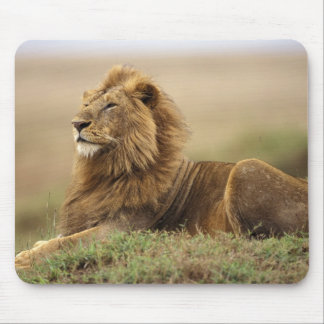 Kenya, Masai Mara. Adult male lion on termite Mouse Pad