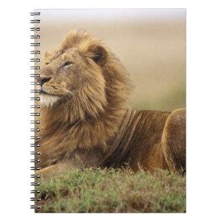 Kenya, Masai Mara. Adult male lion on termite Notebook