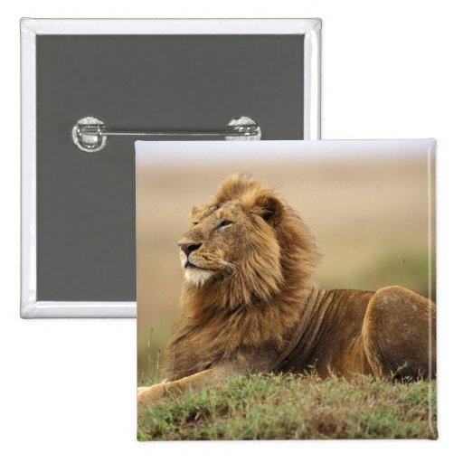 Kenya, Masai Mara. Adult male lion on termite Pin