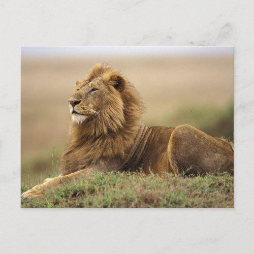 Kenya Masai Mara Adult male lion on termite Postcard