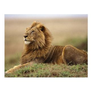 Kenya, Masai Mara. Adult male lion on termite Postcard