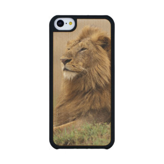 Kenya, Masai Mara. Adult male lion on termite Carved® Maple iPhone 5C Case