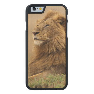 Kenya, Masai Mara. Adult male lion on termite Carved® Maple iPhone 6 Case