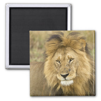 Kenya, Masai Mara. Close-up of lion. Credit as: 2 Inch Square Magnet