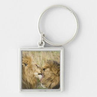Kenya, Masai Mara. Close-up of one male lion Keychain