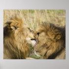 Kenya, Masai Mara. Close-up of one male lion Poster