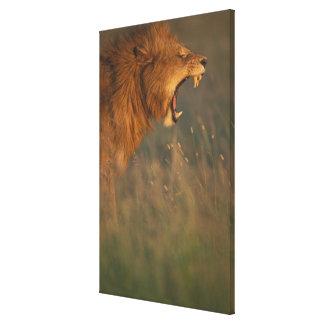 Kenya, Masai Mara Game Reserve, Adult male Lion Canvas Print