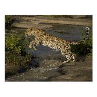 Kenya, Masai Mara Game Reserve. African 4 Postcard