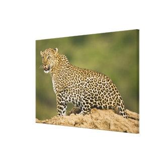 Kenya, Masai Mara Game Reserve. African Leopard Canvas Print