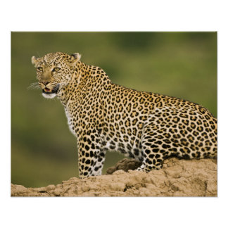 Kenya, Masai Mara Game Reserve. African Leopard Poster