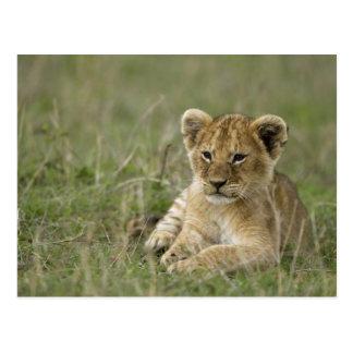Kenya, Masai Mara Game Reserve. African Lion Postcard