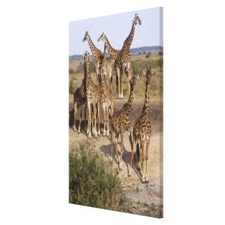 Kenya: Masai Mara Game Reserve herd of one dozen Canvas Print