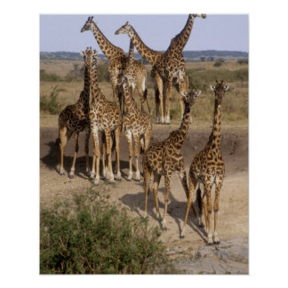 Kenya: Masai Mara Game Reserve herd of one dozen Poster