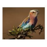 Kenya, Masai Mara Game Reserve. Lilac-breasted Post Card