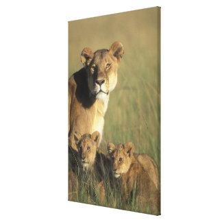 Kenya, Masai Mara Game Reserve, Lion cubs Stretched Canvas Print