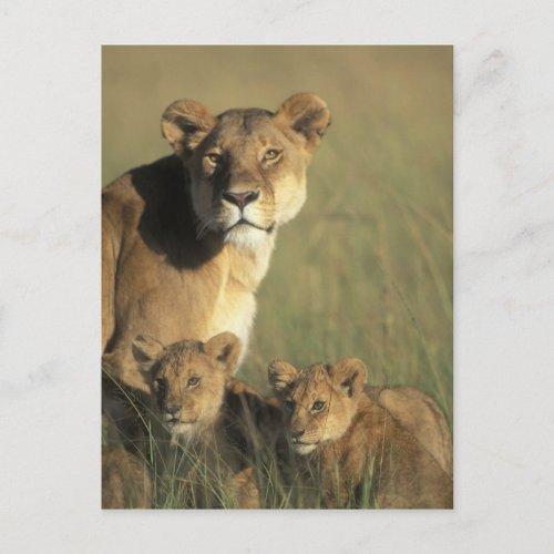Kenya Masai Mara Game Reserve Lion cubs Postcard