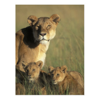 Kenya, Masai Mara Game Reserve, Lion cubs Postcard