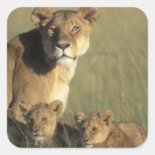Kenya, Masai Mara Game Reserve, Lion cubs Square Sticker