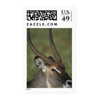 Kenya Masai Mara Game Reserve Male Close-up of Stamp