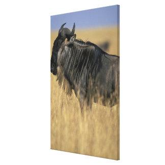 Kenya, Masai Mara Game Reserve, Wildebeest Canvas Print