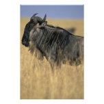 Kenya, Masai Mara Game Reserve, Wildebeest Photo Print