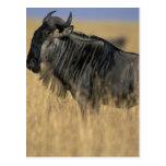Kenya, Masai Mara Game Reserve, Wildebeest Postcard