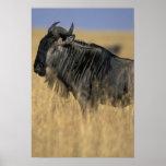 Kenya, Masai Mara Game Reserve, Wildebeest Poster