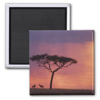 Kenya: Masai Mara National Park, Sunset. Magnet