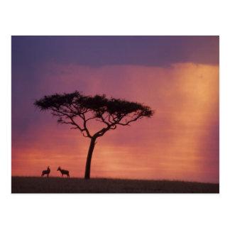 Kenya: Masai Mara National Park, Sunset. Postcard
