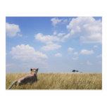 Kenya, Masai Mara Postcard