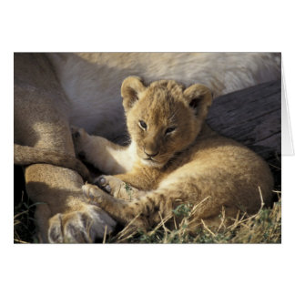 Kenya, Masai Mara. Six week old Lion cub Card