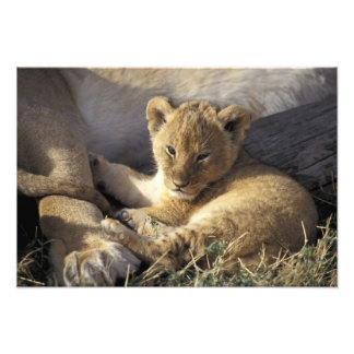 Kenya Masai Mara Six week old Lion cub Photo