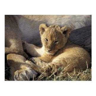 Kenya, Masai Mara. Six week old Lion cub Postcard