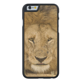 Kenya, Masai Mara. Two lions resting face to Carved® Maple iPhone 6 Slim Case